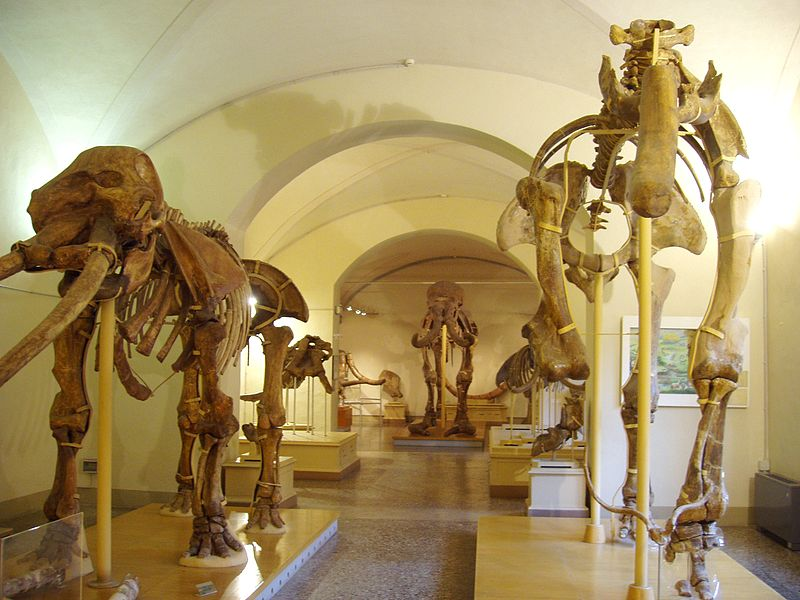 800px-Museo_di_Storia_Naturale_di_Firenze_-_paleontology