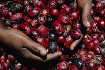 @DEAN CONGER/National Geographic Grenada, Indie Occidentali britanniche Due mani piene di gusci lucenti di noce moscata ricoperti di macis rosso.