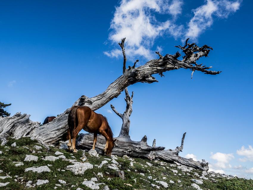 Serra del Crispo, Monte Pollino, Pini loricati