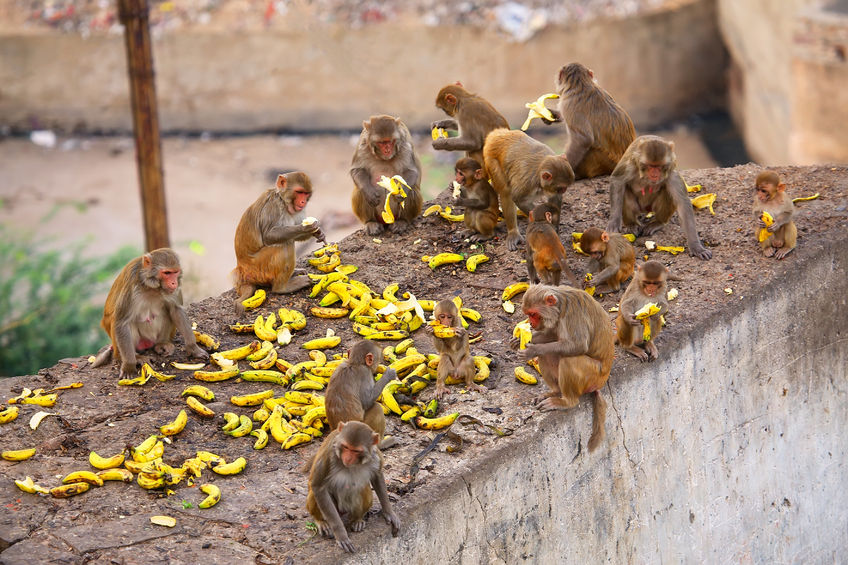 Group of rhesus macaques (macaca mulatta) eating bananas near galta temple in jaipur, india. the temple is famous for large troop of monkeys who live here. Photo credit: donyanedomam