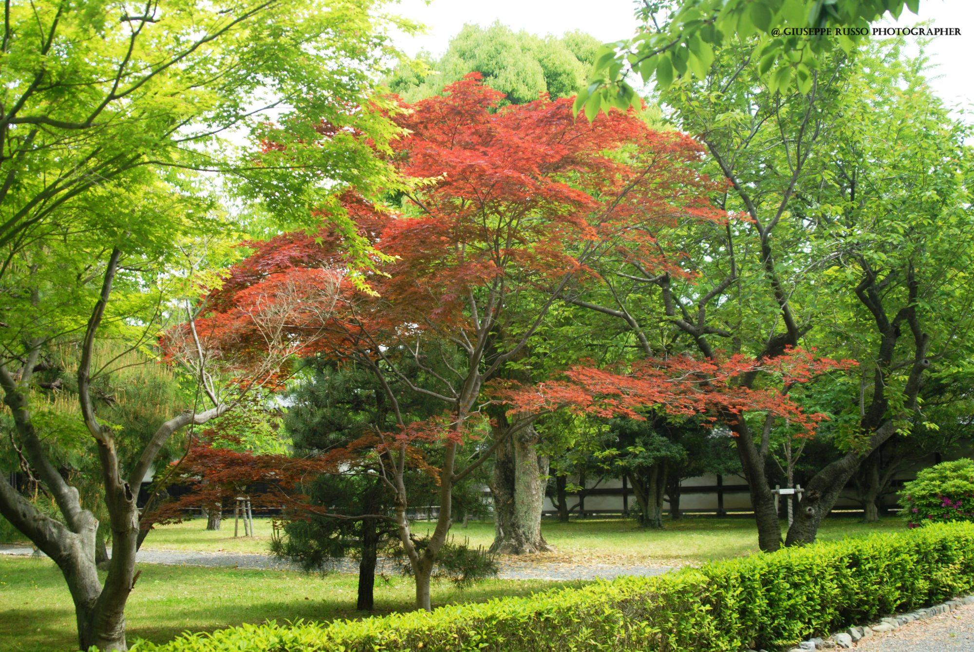 HANAMI, Momiji (acero giapponese rosso) (2)